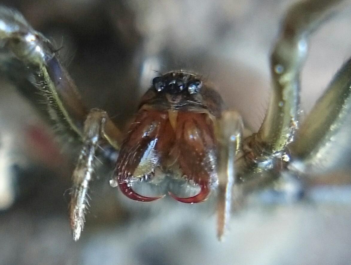búvárpók (Argyroneta aquatica) nőstény védekező pózban