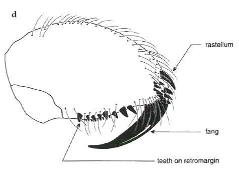 Orthognath-típusú csáprágó