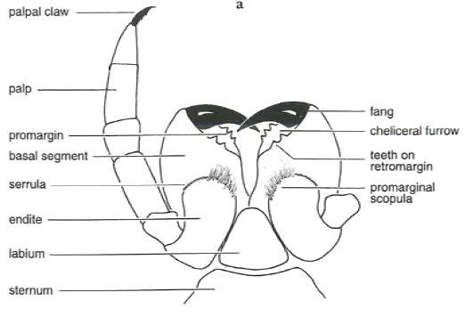 Labidognath-típusú csáprágó