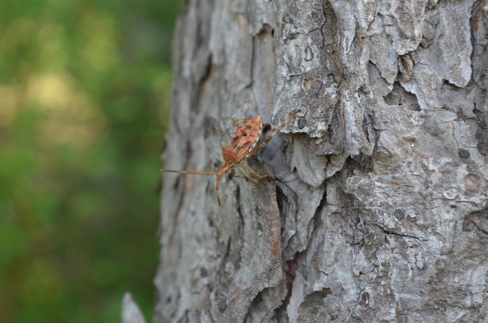 nyugati levéllábú poloska (Leptoglossus occidentalis) lárva