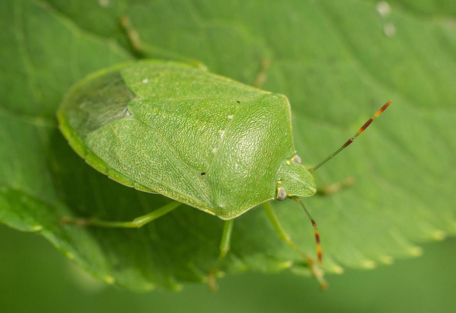 zöld vándorpoloska (Nezara viridula) imágó