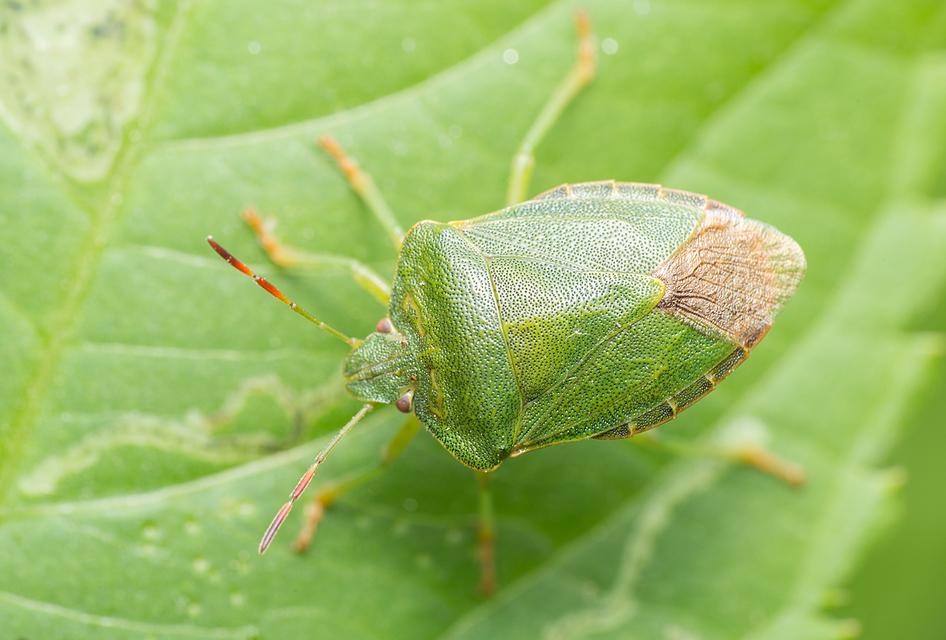 zöld bogyómászó-poloska (Palomena prasina) imágó