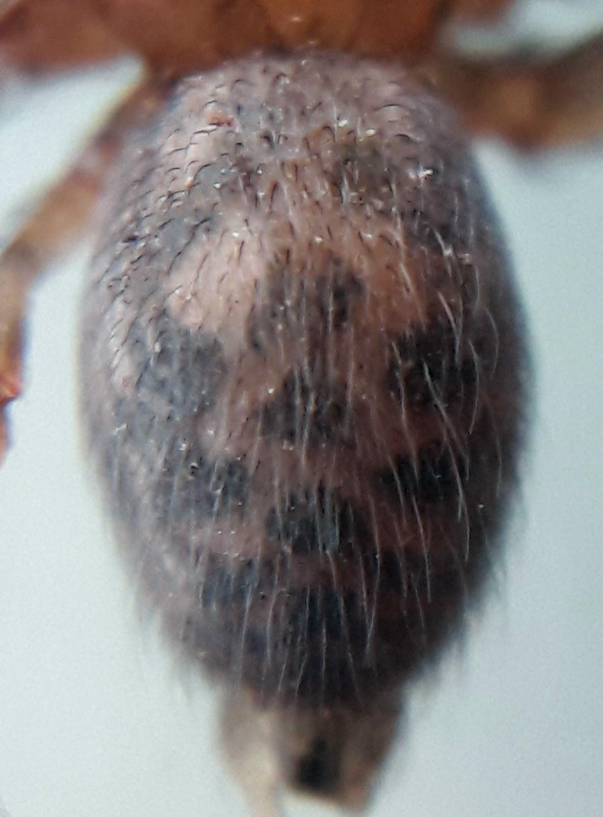 házi zugpók (Tegenaria domestica)