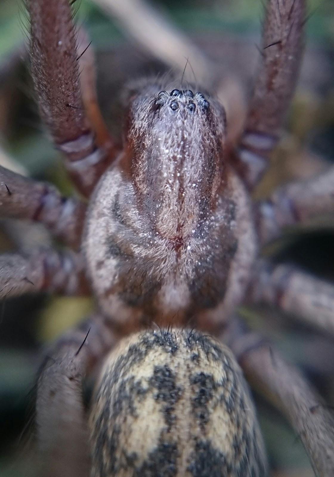 nagy zugpók (Eratigena atrica)