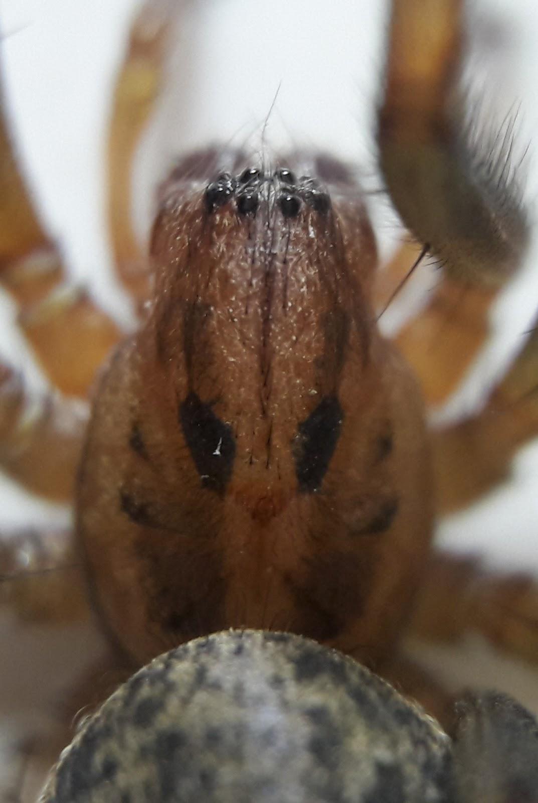 réti zugpók (Eratigena agrestis)